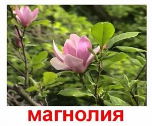 Карточки Домана. Растения. Декоративные цветы.